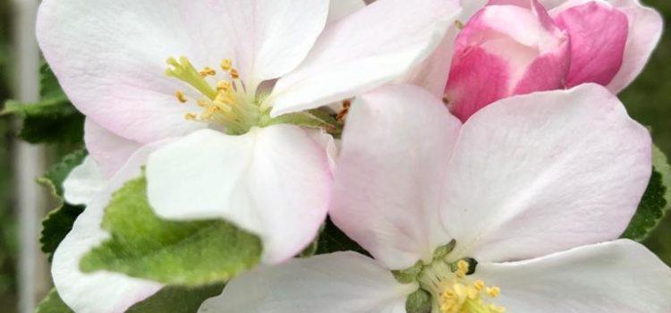 Maiglöckchen und Apfelblüte….